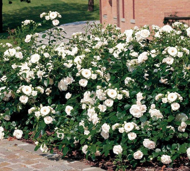 edirose rosier paysager aspirin rose de couleur blanc. Black Bedroom Furniture Sets. Home Design Ideas