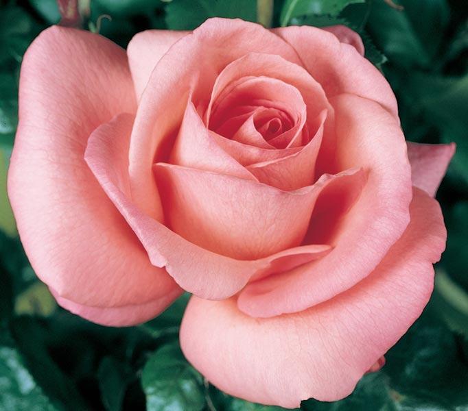 edirose rosier grandes fleurs cosima de couleur vieux rose pour massifs fleurs coup es de. Black Bedroom Furniture Sets. Home Design Ideas