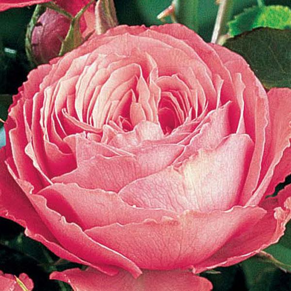 edirose rosier grimpant la vanoise de couleur rose carmin au revers argent pour facades. Black Bedroom Furniture Sets. Home Design Ideas