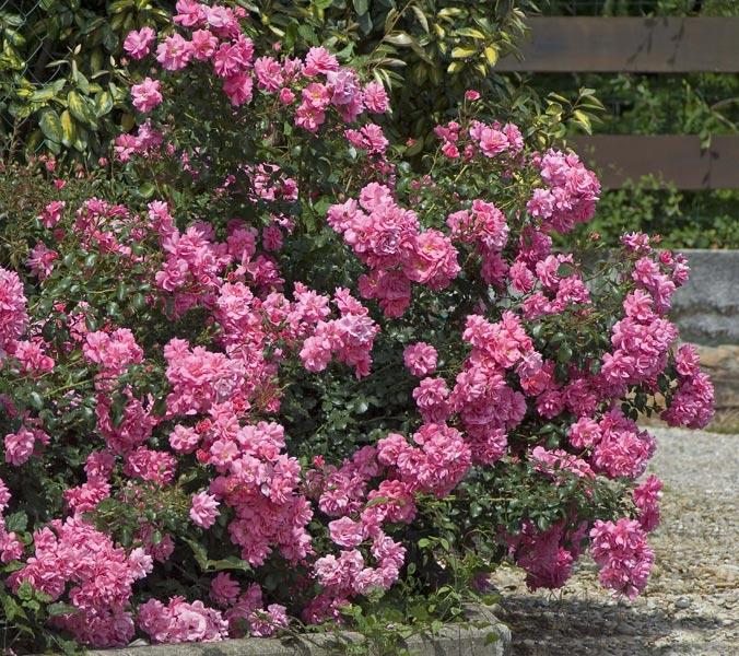 edirose rosier paysager mirato de couleur rose lumineux pour massifs plates bandes grands. Black Bedroom Furniture Sets. Home Design Ideas