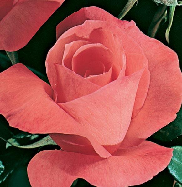 Edirose rosier grandes fleurs mistraline de couleur - Couleur rose vif ...