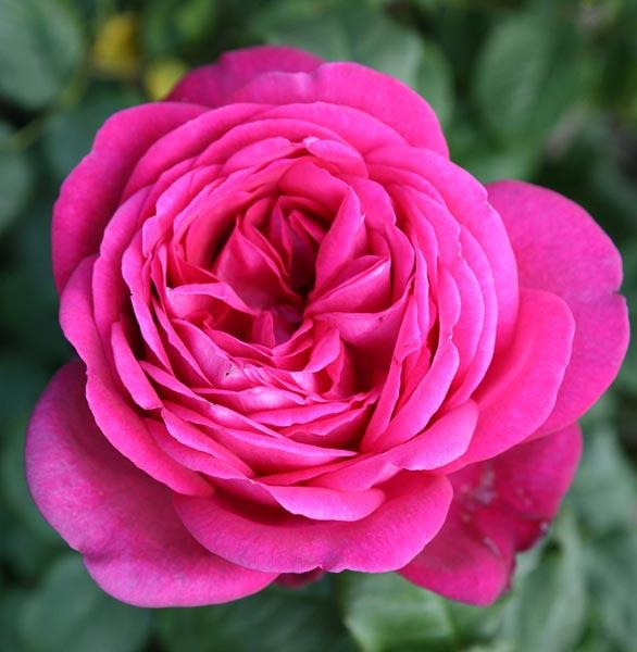 edirose rosier grandes fleurs parfum de honfleur de couleur rose d 39 orient pourpre pour. Black Bedroom Furniture Sets. Home Design Ideas
