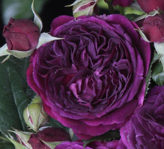 edirose rosier paysager purple lodge de couleur violet pourpre pour massifs haies isol. Black Bedroom Furniture Sets. Home Design Ideas