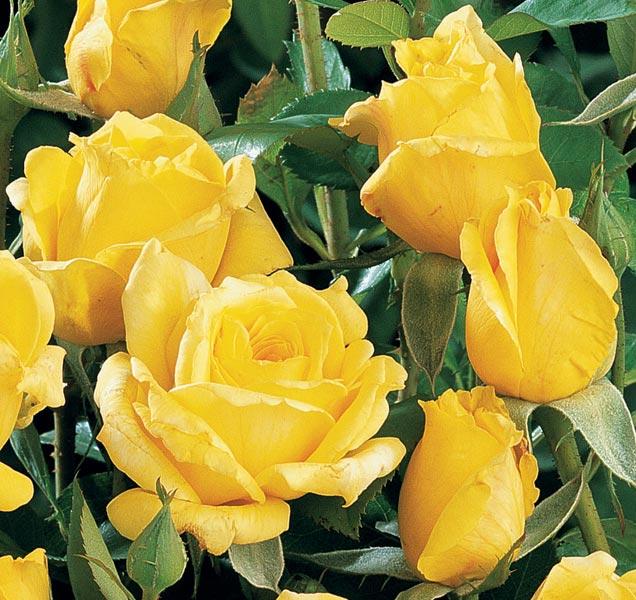 Edirose rosier grandes fleurs rose de limoux de for Rosier grimpant pour mi ombre