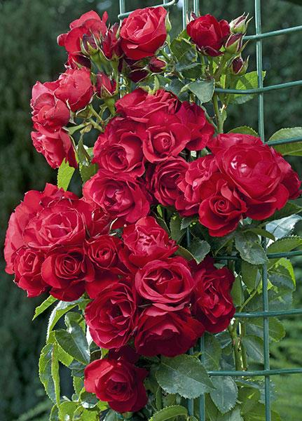 edirose rosier grimpant rose de p rouges de couleur rouge framboise pour facades pylones. Black Bedroom Furniture Sets. Home Design Ideas