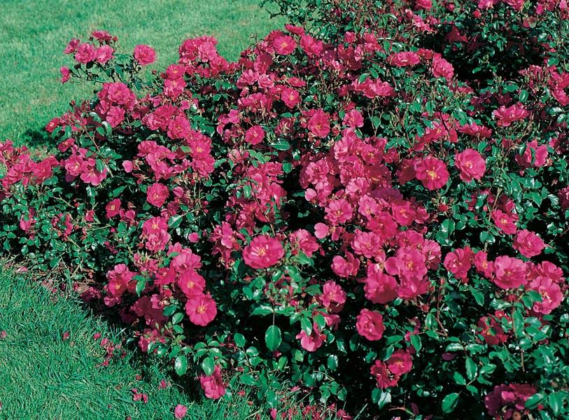 edirose rosier paysager xenia de couleur rose soutenu pour talus rocailles plates bandes bacs. Black Bedroom Furniture Sets. Home Design Ideas