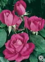 Rosier à Grandes Fleurs A Caen La Paix