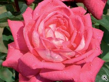 Rosier à Grandes Fleurs Acapella