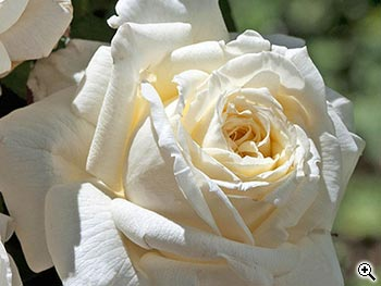 Rosier à Grandes Fleurs Ariane de Rothschild