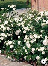 Rosier Paysager Aspirin Rose