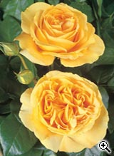 Rosier à Grandes Fleurs Bataclan