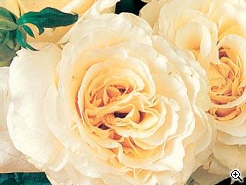 Rosier à Grandes Fleurs Bérénice