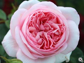 Rosier à Grandes Fleurs Bobino