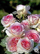 Rosier à Grandes Fleurs Boréale