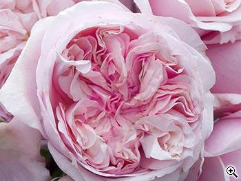 Rosier à Grandes Fleurs Château Barbeyrolles
