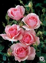 Rosier à Fleurs Groupées Côté Jardin