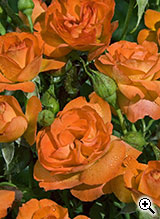 Rosier à Fleurs Groupées Good Morning
