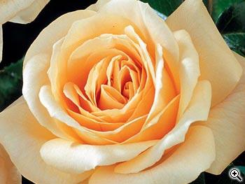 Rosier à Grandes Fleurs Hyde Park
