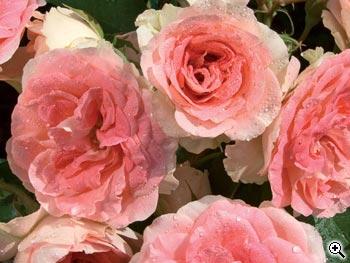 Rosier à Fleurs Groupées Jet Set
