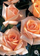 Rosier à Grandes Fleurs Jolie Mome
