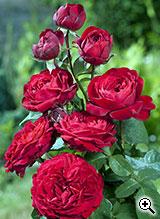 Rosier à Grandes Fleurs Jubilé Laperrière