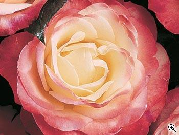 Rosier à Grandes Fleurs La Garçonne