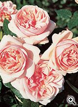 Rosier à Grandes Fleurs Laurette Fugain