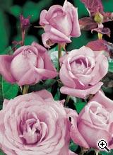 Rosier à Grandes Fleurs Lugdunum