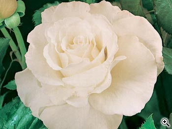 Rosier à Fleurs Groupées Margaret Merril