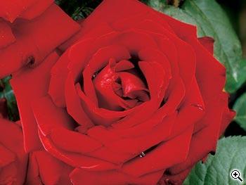 Rosier à Grandes Fleurs Marlena