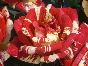 Rosier à Grandes Fleurs Méli-Mélo
