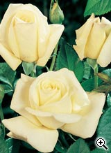 Rosier à Grandes Fleurs Mélodie