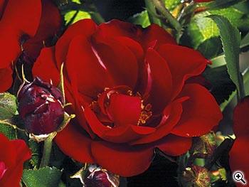 Rosier à Fleurs Groupées Michel Strogoff