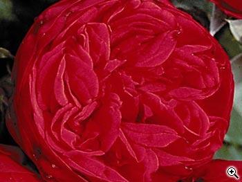 Rosier à Grandes Fleurs Mistinguett