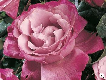 edirose rosier grandes fleurs muriel robin de couleur mauve parme ourl de rose clair pour. Black Bedroom Furniture Sets. Home Design Ideas