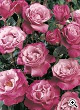 Rosier à Grandes Fleurs Muriel Robin