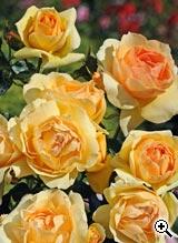 Rosier à Fleurs Groupées Mythique
