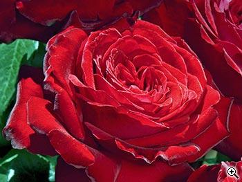 Rosier à Grandes Fleurs Noémie de Rothschild