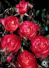 Rosier à Fleurs Groupées Novaia