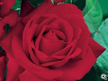 Rosier à Grandes Fleurs Panthéon