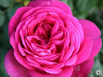 Rosier à Grandes Fleurs Parfum de Honfleur