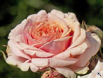 Rosier à Grandes Fleurs Quincy Jones