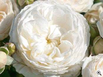Rosier à Grandes Fleurs Ragtime