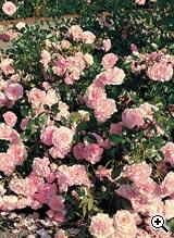 Rosier Paysager Rose de Beaune