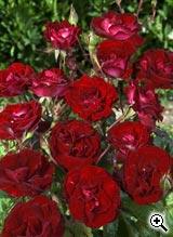 Rosier à Fleurs Groupées Rose de Cahors