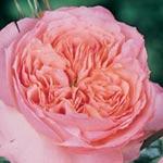 Rose de Cornouaille