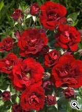 Rosier à Fleurs Groupées Rose de Fleurie