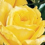 Rose de Limoux