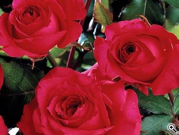 Rosier à Fleurs Groupées Rose de Tavel