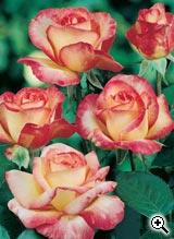 Rosier à Grandes Fleurs Roxane